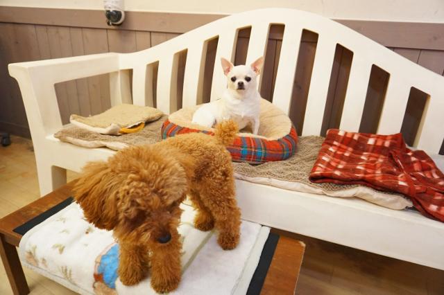 ヌーノクラブ ワンちゃん専用ペットホテル 犬 トイプードルのアニーとチワワのじゃすみん