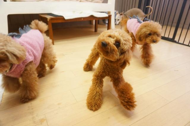 ヌーノクラブ 犬・ワンちゃんのペットホテル 滞在中のトイプードルの子たち