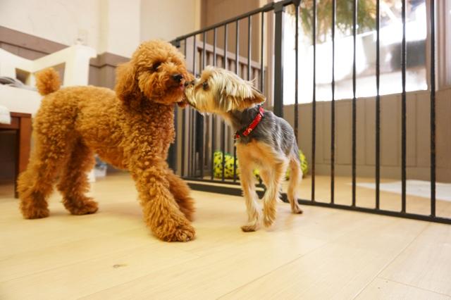 ヌーノクラブ ワンちゃん専用ペットホテル 犬 ヨーキーのモモコざわーるど トイプードルのアニー