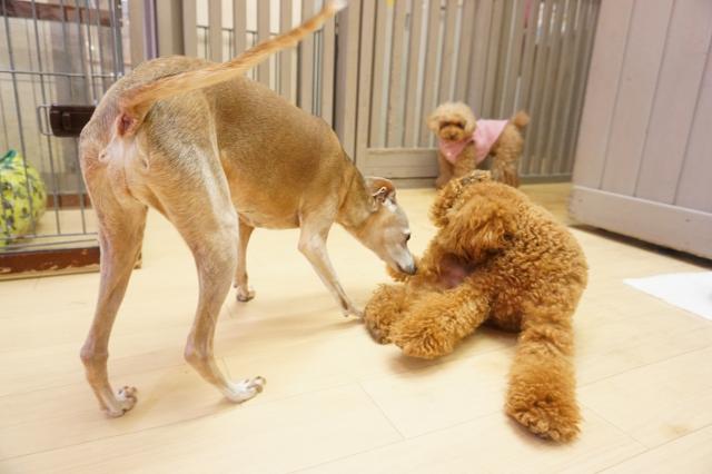 ヌーノクラブ 犬・ワンちゃんのペットホテル 滞在中のトイプードルのアニーちゃん イタリアングレーハウンドのクーシー