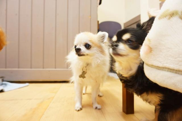 ヌーノクラブ ワンちゃん専用ペットホテル 犬 GW中に犬のホテルに滞在しているワンちゃんたち