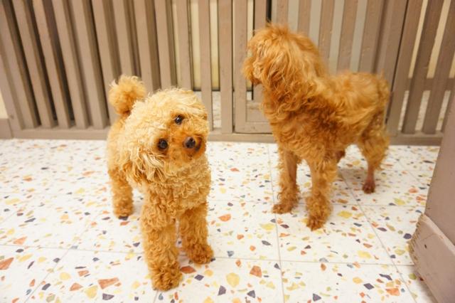 ペットホテル ヌーノクラブ 犬の専門ホテル お預かり中のトイプードル トビー