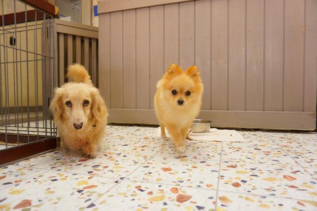 ヌーノクラブ ペットホテル 犬専用のホテル ミニチュアダックフンドのココア トイプードルのマロン