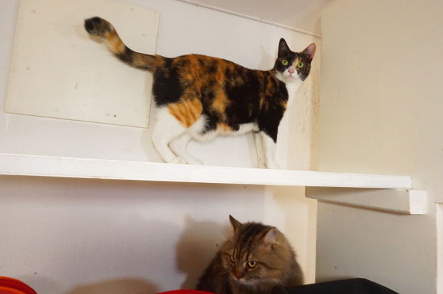 ヌーノクラブ 猫専用ペットホテル 三毛猫 ゆめのか