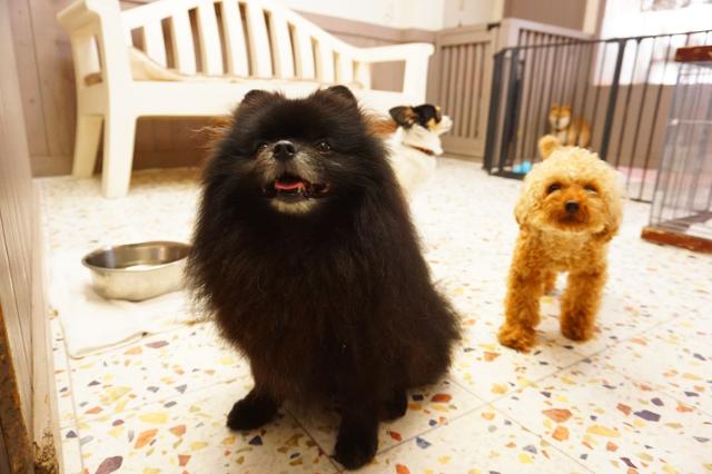 ペットホテル ヌーノクラブ 犬の専門ホテル お預かり中のポメラニアン レオナルド