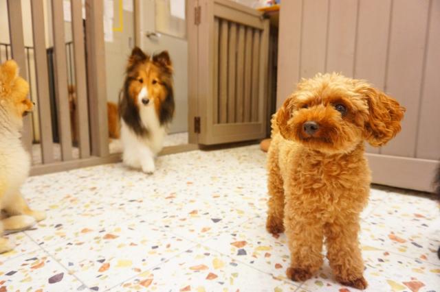 ヌーノクラブ ペットホテル 犬専用のホテル シェルティのアンジュ・ポメラニアンのレオナルド・トイプードルのピッピ