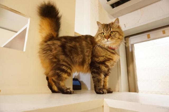 ヌーノクラブ 猫専用ペットホテル ブリティッシュロングヘア― ウィスキー