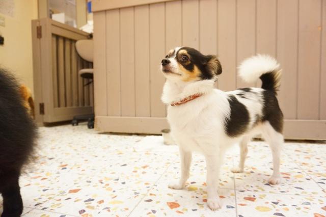 ペットホテル ヌーノクラブ 犬の専門ホテル お預かり中のチワワ ちよ