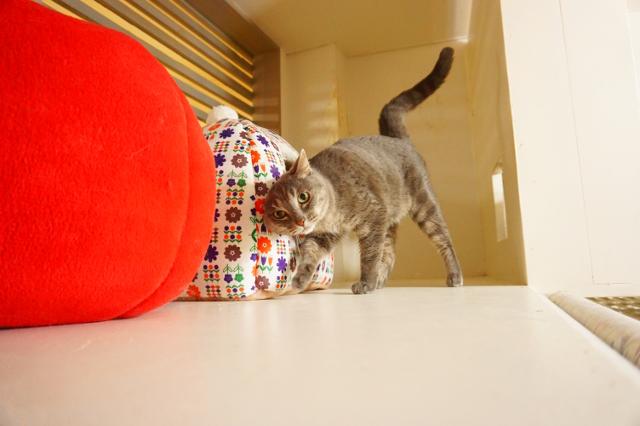 ヌーノクラブ 猫専用ペットホテル ミックス猫 ワサビ