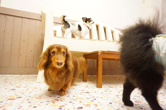 ペットホテル ヌーノクラブ 犬の専門ホテル ミニチュアダックスフンドのココア