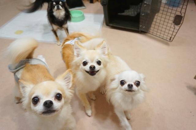 ヌーノクラブ ペットホテル 犬専用のホテル チワワのルーク・クロエ・ラルフ・エルメ