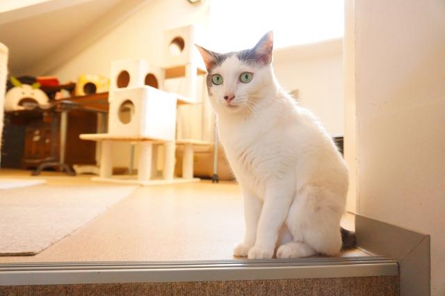 ヌーノクラブ 猫専用ペットホテル ミックス猫 ハナ