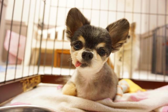ヌーノクラブ ペットホテル 犬専用 チワワのマロン
