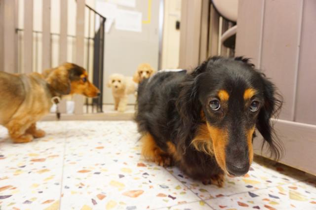 ヌーノクラブ ペットホテル 犬専用 ミニチュアダックスフンドのライト