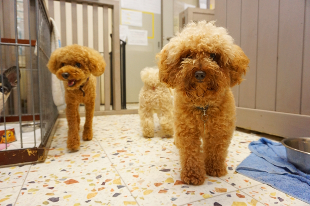 ヌーノクラブ ペットホテル 犬専用 トイプードルのマロン