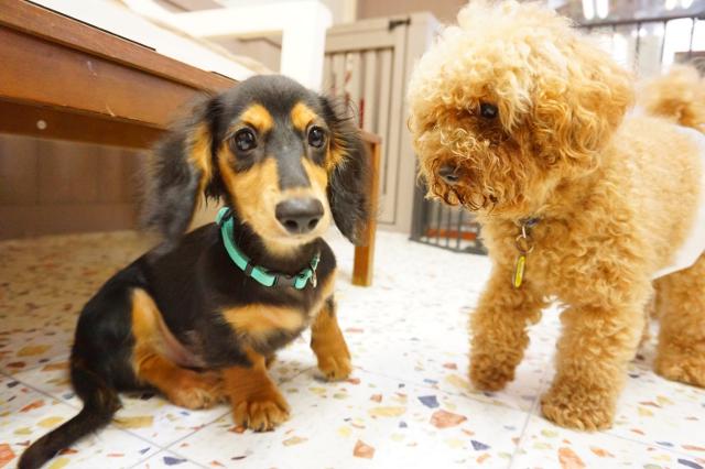 ヌーノクラブ ペットホテル 犬専用 ミニチュアダックスのコロ助