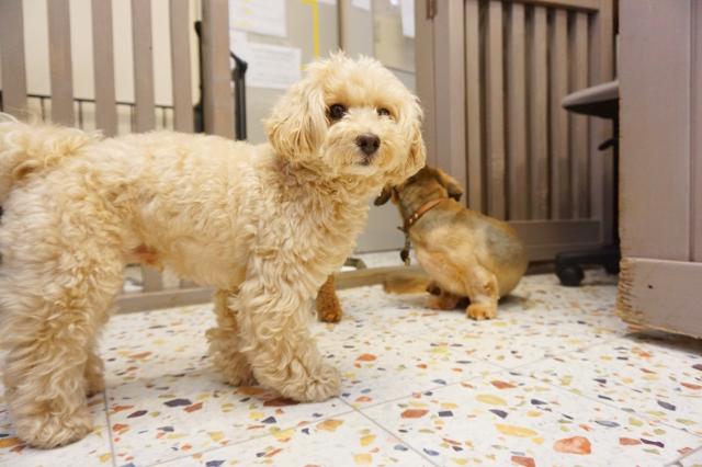 ヌーノクラブ ペットホテル 犬専用 マルプーのまる
