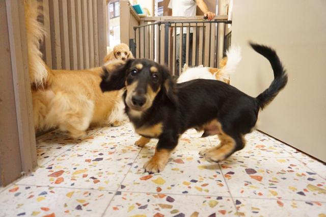 ヌーノクラブ ペットホテル 犬専用 ミニチュアダックスのチロル