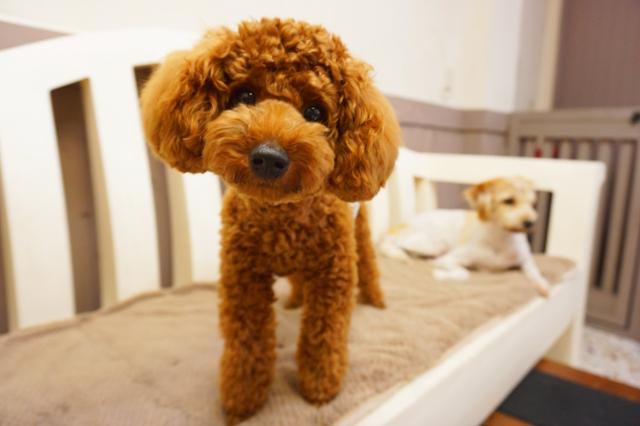 ヌーノクラブ ペットホテル 犬専用 トイプードルのアブリコ