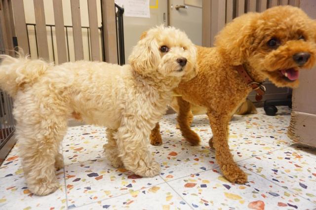 ヌーノクラブ ペットホテル 犬専用 マルプーのまる トイプードルの天