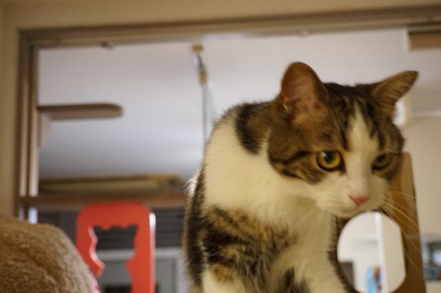 ペットホテルのお預かりの猫