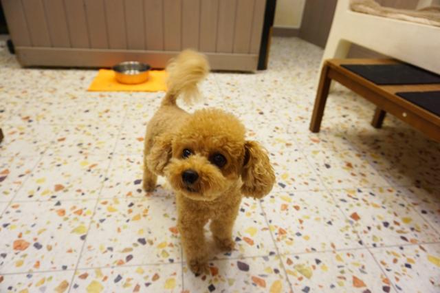 ヌーノクラブ新井薬師 ペットホテル 犬専用ホテル トイプードルのニコル