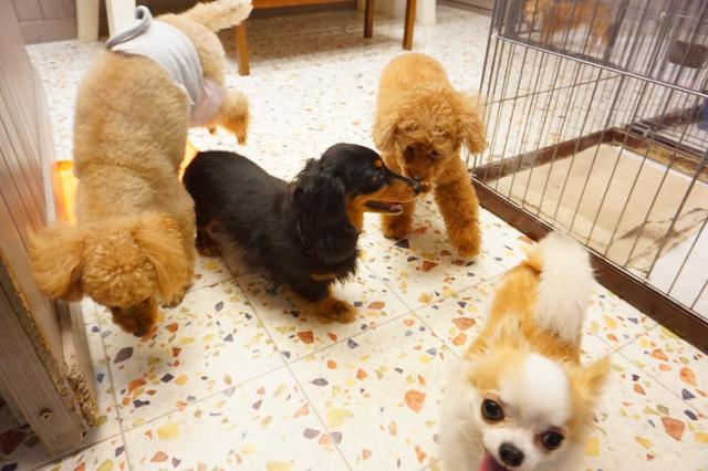 ヌーノクラブ新井薬師 ペットホテル 犬専用ホテル ミニチュアダックスフンドのるう チワワのらむ