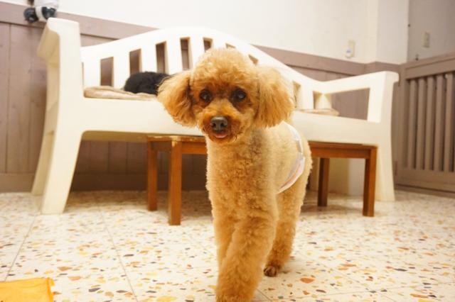 ヌーノクラブ新井薬師 ペットホテル 犬専用ホテル トイプードルのリク