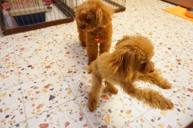 ヌーノクラブ新井薬師 ペットホテル 犬専用ホテル トイプードルのあずき