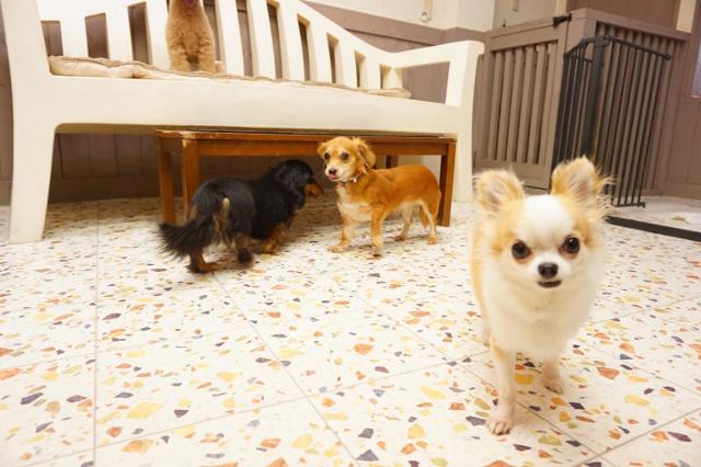ヌーノクラブ新井薬師 ペットホテル 犬専用ホテル ミニチュアダックスフンドのるう チワワのらむ MIXのべる