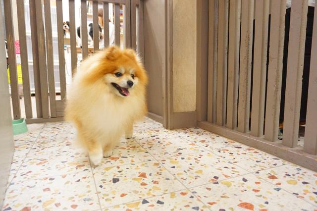 ヌーノクラブ新井薬師 ペットホテル 犬専用ホテル ポメラニアンのたわし