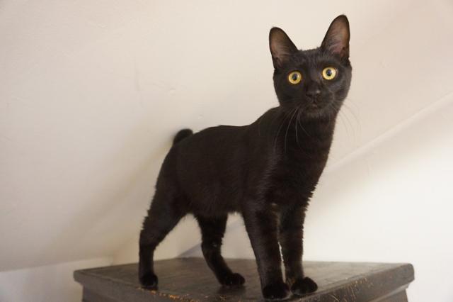 猫専用のペットホテル ヌーノクラブ新井薬師 お泊まり中の猫ちゃん写真 黒猫のずずちゃん