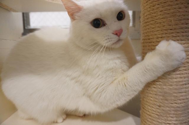 猫専用のペットホテル ヌーノクラブ新井薬師 お泊まり中の猫ちゃん写真 白猫のハチちゃん