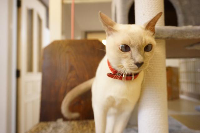 猫専用のペットホテル ヌーノクラブ新井薬師 お泊まり中の猫ちゃん写真 トンキニーズのタケルちゃん