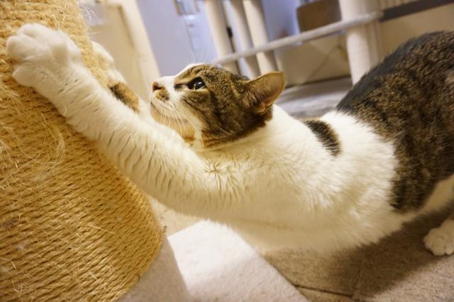 キャットホテルで 爪とぎの猫