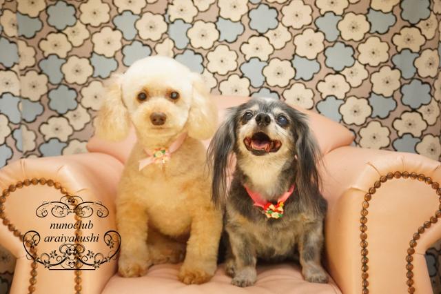 ペットサロン・トリミングサロン ヌーノクラブ シャンプー&カット  トイプードルのモコ MIX犬のルン