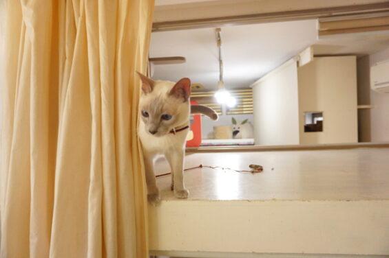 ペットホテルのヌーノクラブ 猫専用ホテル キャットホテル 安心 ケージレス トンキニーズのタケル