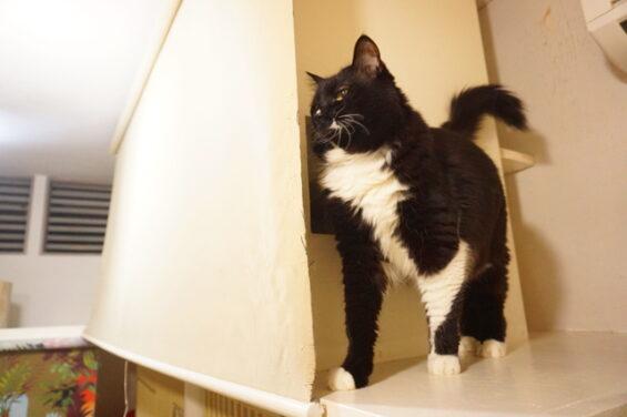 ペットホテルのヌーノクラブ 猫専用ホテル キャットホテル 安心 ケージレス メインクーンのアリス