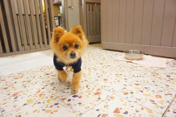 ペットホテルのヌーノクラブ 犬専用ホテル ドッグホテル 安心 ケージレス ポメラニアンのショコラ