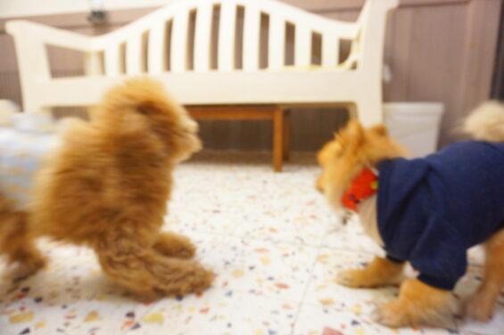 ペットホテルのヌーノクラブ 犬専用ホテル ドッグホテル 安心 ケージレス ポメラニアンのショコラ トイプードルのポチ