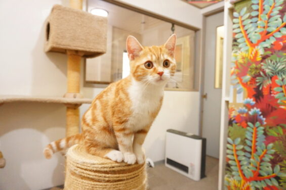 ペットホテルのヌーノクラブ 猫専用ホテル キャットホテル 安心 ケージレス スコティッシュフォールドのむぎちゃん