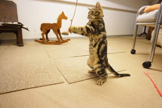 ペットホテルのヌーノクラブ 猫専用ホテル キャットホテル 安心 ケージレス アメリカンショートヘアの仔猫のテンちゃん