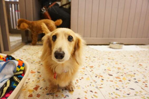 ペットホテルのヌーノクラブ 犬専用ホテル ドッグホテル 安心 ケージレス ミニチュアダックスフントのモナコちゃん