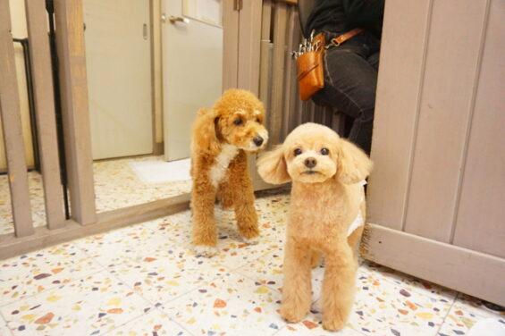 ペットホテルのヌーノクラブ 犬専用ホテル ドッグホテル 安心 ケージレス トイプードルの兵長ちゃんときなこちゃん