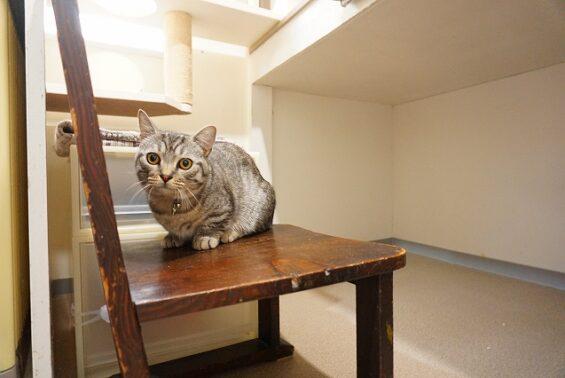 ペットホテルのヌーノクラブ 猫専用ホテル キャットホテル 安心 ケージレス マンチカンのれおんちゃん