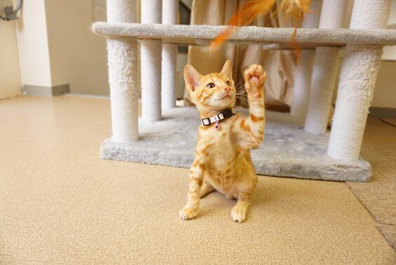 ペットホテルのヌーノクラブ 猫専用ホテル キャットホテル 安心 ケージレス ベンガル猫の子猫けいきちちゃん