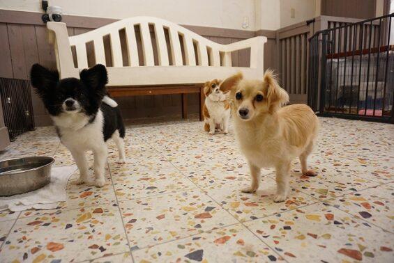 ペットホテルのヌーノクラブ 犬専用ホテル ドッグホテル 安心 ケージレス チワワ×パピヨンのルチル・パールちゃんとチワックスのむぎちゃん
