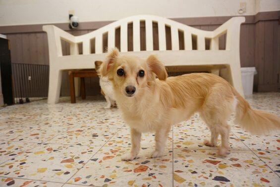 ペットホテルのヌーノクラブ 犬専用ホテル ドッグホテル 安心 ケージレス チワックスのむぎちゃん