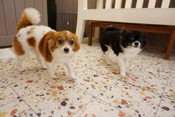 ペットホテルのヌーノクラブ 犬専用ホテル ドッグホテル 安心 ケージレス チワワ×パピヨンのルチル・パールちゃん