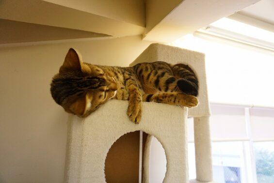 ペットホテル 猫専用ホテル ヌーノクラブ ベンガルのmugiちゃん